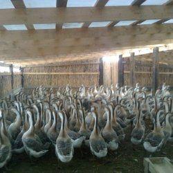 Кубанські гуси в загоні