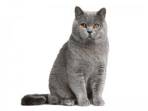 Характер британської кішки