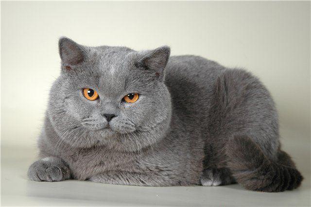 Характер кішок британської породи