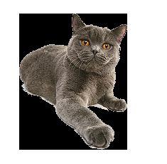 Характер і поведінка британської кішки
