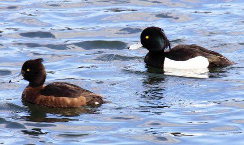 Самка і самець у воді