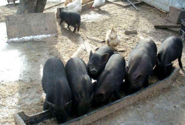 Холмогорские породи корів - кращі молочники