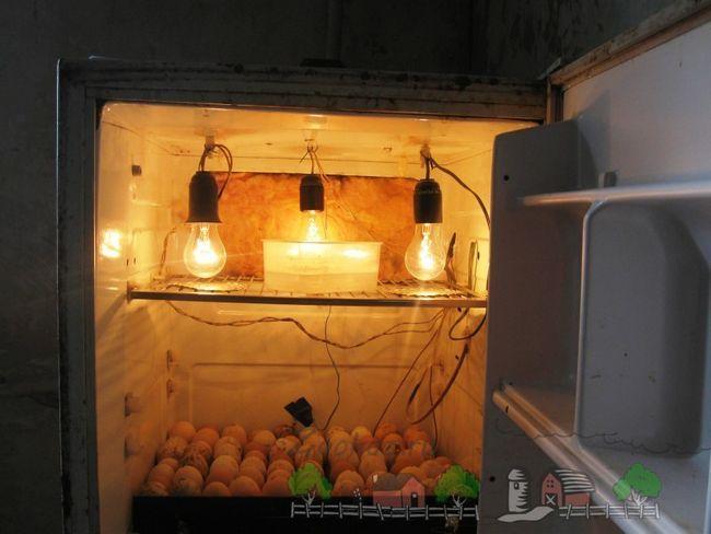 Інкубатор в холодильнику фото