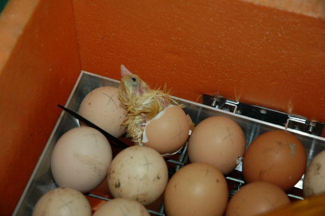 Курча вилупився з яйця в інкубаторі