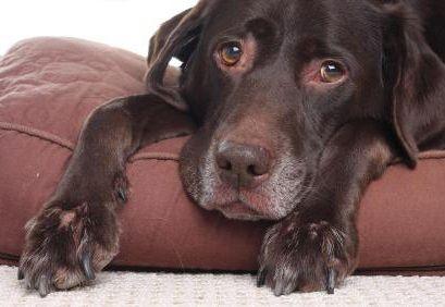 Кульгавість у собаки