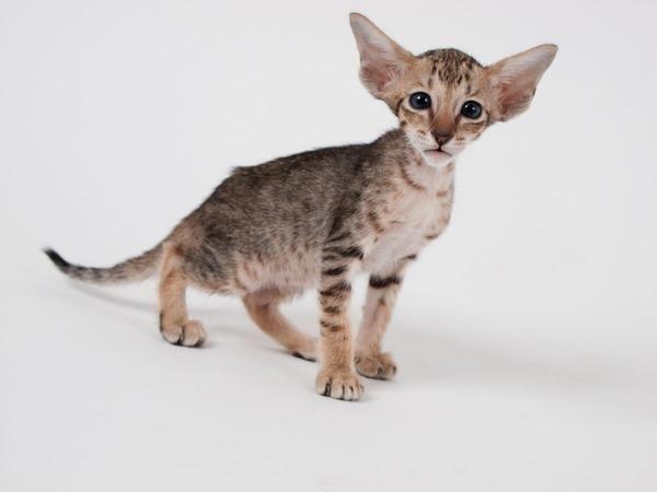 худа кішка