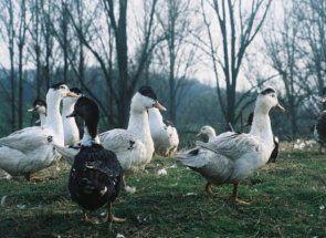 Інь і янь - все про білих і двоколірних качечки