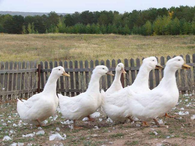 Білі Пекінські качки у дворі