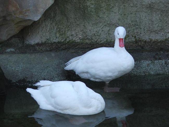 Білі Московські качки біля води