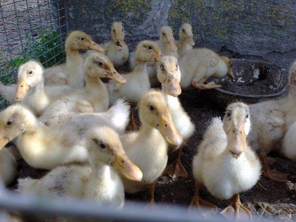 Українські білі качки в пташнику