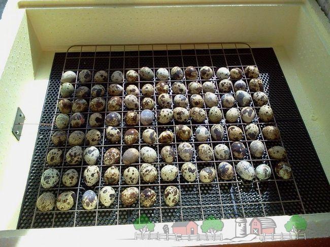 Перепелині яйця в інкубаторі фото