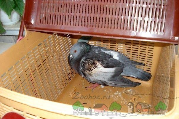 Фото хворого голуба в перенесенні