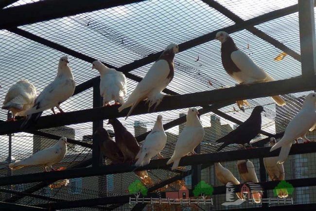 Фото голубів в голубника