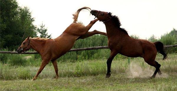 Розлючена кобила б`є іншого коня