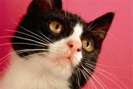 вуса кішки