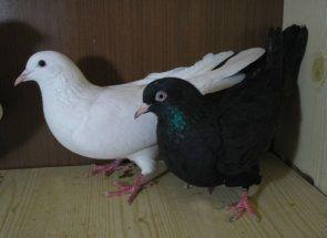 Іранські бійні голуби - кращі з кращих в небі