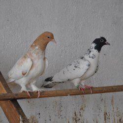 Два іранських бойних голуба