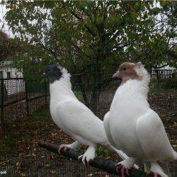 Щекатие Іранські білі голуби