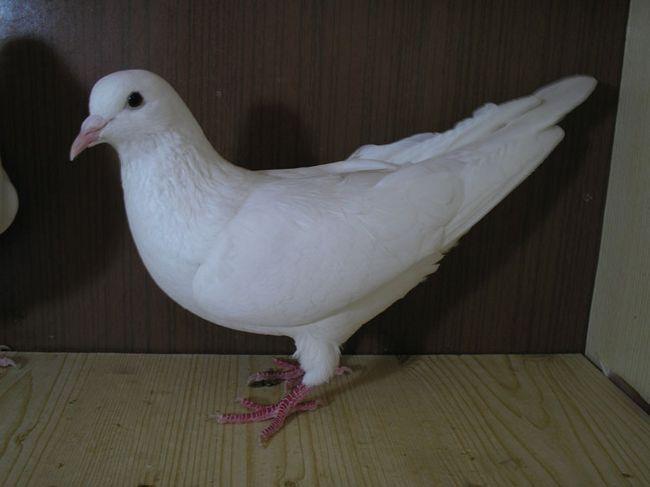 Іранський голуб білого кольору