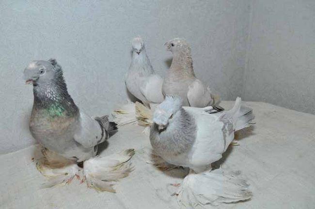 Сіро-білі Іранські бійні голуби