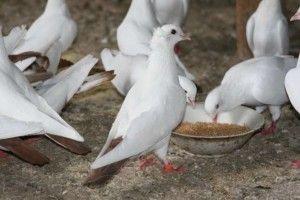 Тегеранські білі бійні голуби