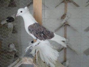 Хамаданскій голуб білий з бурими крилами