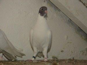 Білий щекатий Іранський голуб