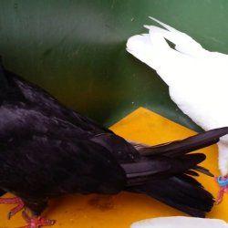 Чорні та білий Іранські голуби