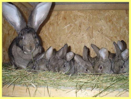 Штучне запліднення кроликів в домашніх умовах