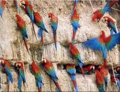 Штучне вигодовування пташенят червоних ар