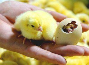 Виправляємо у курчати розходяться лапи
