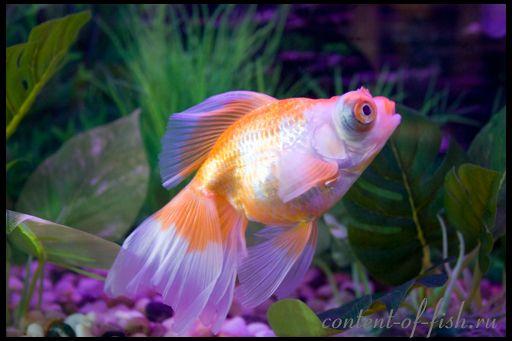Історія золотої рибки
