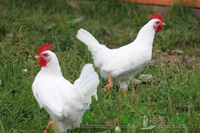 Італійські красуні - кури леггорн