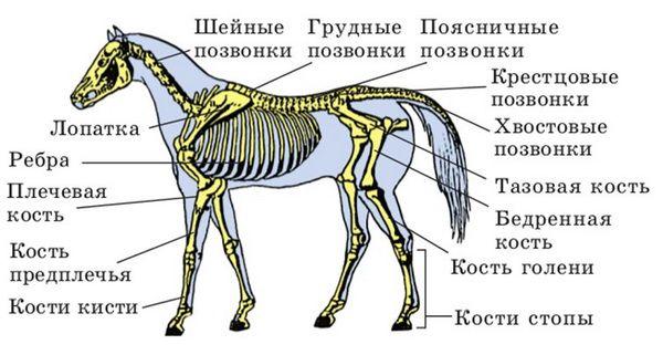 Схема скелета коня