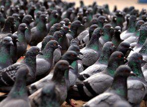 Позбавляємося від набридливих голубів