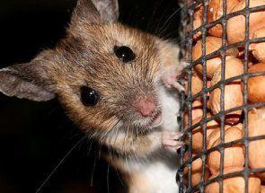 Виганяємо назавжди з курника мишей і щурів