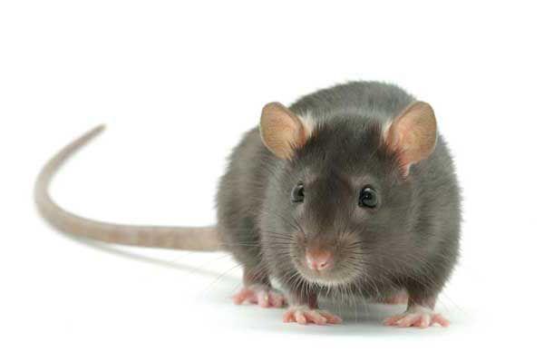 Сірий пацюк крупним планом