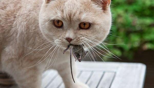 Сіра кішка тримає миша в роті