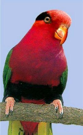 Витончені або прикрашені лорірод charmosynaукрашенний папуанскій лорі (charmosyna papou)