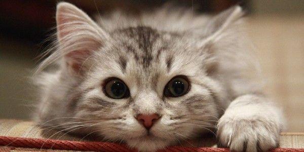 Котяча мордочка крупним планом