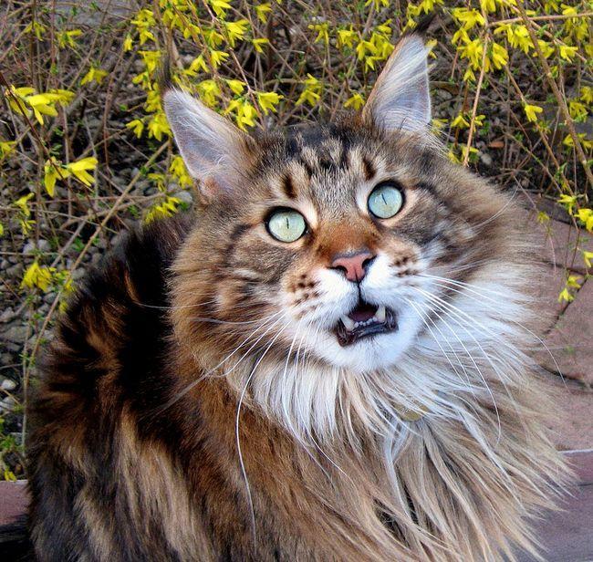 Я не має наміру займатися розведенням мейн-кунів, але мені хочеться, щоб кіт не був кастрований.