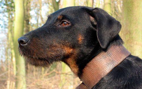 Ягдтерьер: сталевий характер для досвідчених собаківників