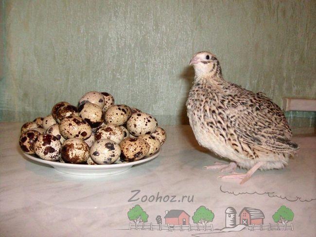 Яєчко - невеличка або дар перепілки