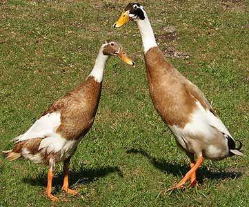 Яєчні породи качок