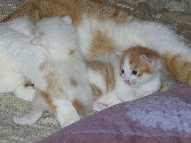 Кошенята породи японський бобтейл