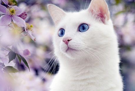 Японські породи кішок