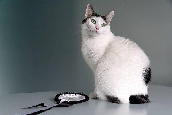 Красива кішка японської породи