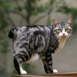 Довгошерстий кіт красивого забарвлення