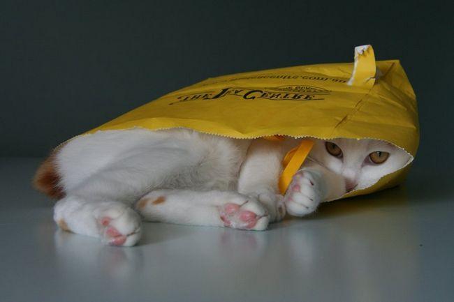 Японські бобтейли дуже грайливі кішки