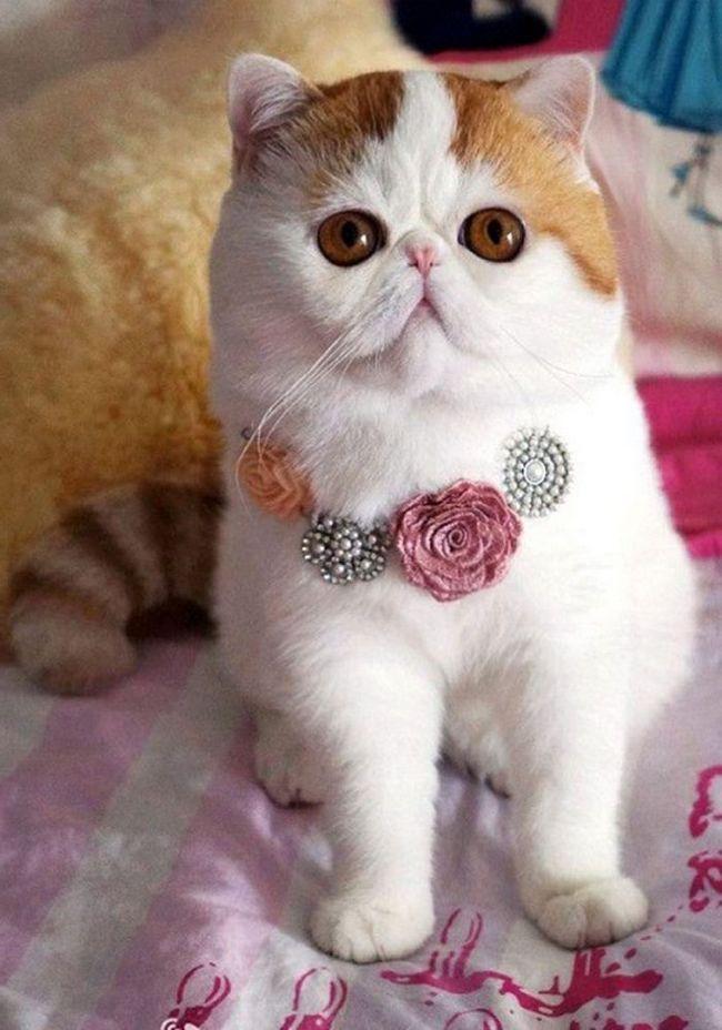 Японський кіт снупі - зірка інтернету. Фото. Відео.